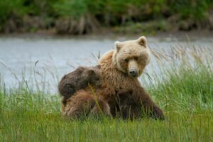Bären aufbinden